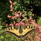 ein seltener Gast in unserem Garten