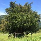 über 1'000 jährige Eibe nahe Oberstaufen